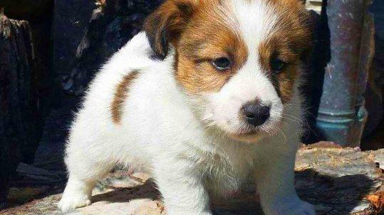 Eddie Jack Russell Terrier