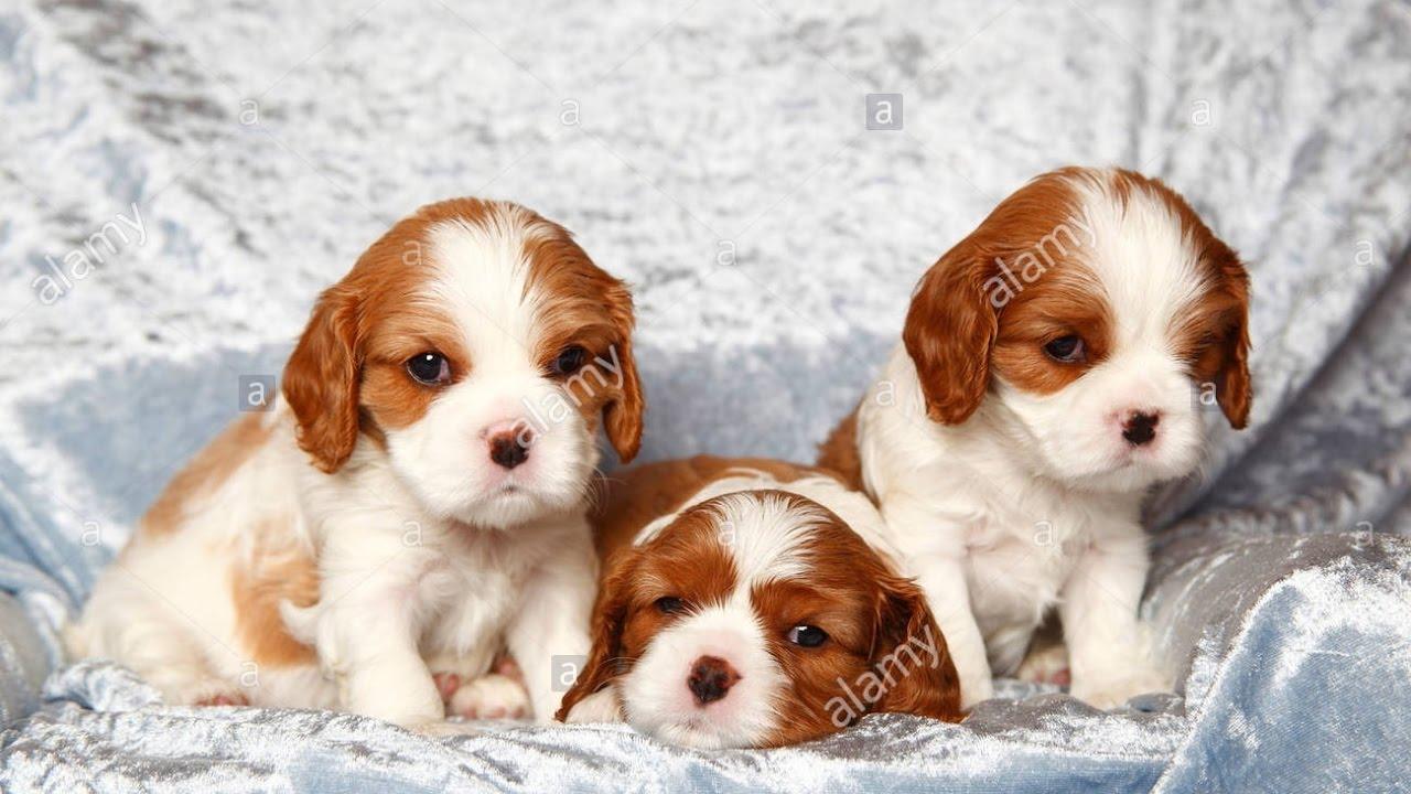Cavalier King Charles Spaniel Puppies Blog Sobre Perros