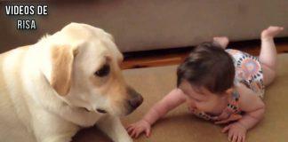 Los bebés lindos que juegan con los perros Labrador - Perros Amor bebés Compilación [HD VIDEO]