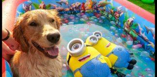 Sammie vs Minions Surprise Pool 1000 Water Balloon Toys Golden Retriever Puppy | Playtime Fun Vlog