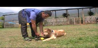 Adiestramiento de perros Golden Retriever Clase2c
