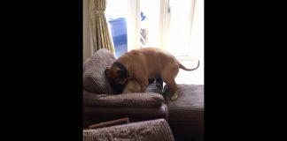 Bullmastiff vs Frenchie