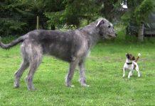 Jack Russell Terrier y Irish Wolfhound jugando