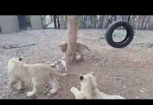Jack Russell le muestra a los Leones quién es el jefe