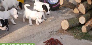Los cachorros de Jack Russell Terrier adquieren una araña robot