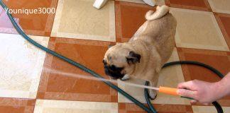 Muy lindo y divertido perro cachorro que trata de beber agua.