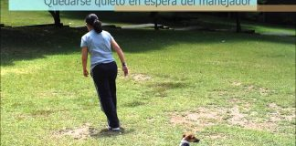 Obediencia Básica I - Mariana y Zoil (Jack Russell Terrier)