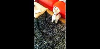 Perro cantante de ópera perro divertido Mozart