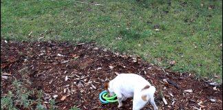 Yarnbi, perro tirando y atrapando su juguete - 1/2 Jack Russell Terrier 1/2 Blue Heeler 100% Fantástico