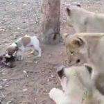 """Un Jack Russell demuestra a los leones quien es el """"Jefe"""""""
